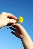 Handing Mom a Dandelion Royalty Free Stock Photography