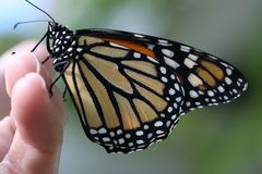 Handing a monarch. Handing a wild monarch butterfly before freedom Stock Photos