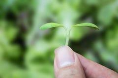 Handinnehavet kärnar ur växten på grön bakgrund arkivbild