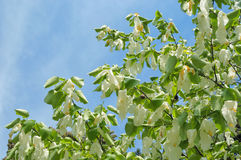 Handkerchief tree Royalty Free Stock Photo