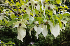 Handkerchief tree flowers Royalty Free Stock Images