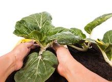 Handkvinnor rymmer nya grönsaker Royaltyfri Bild