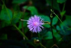 Handlag-mig-inte växt och blomma arkivfoton