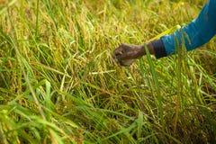 Handlandwirt, der Reis erntet lizenzfreie stockbilder