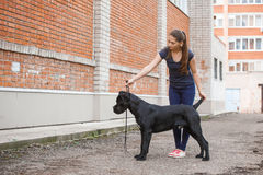Handler with a dog Cane Corso Italian Mastiff Royalty Free Stock Images