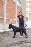Handler with a dog Cane Corso Italian Mastiff Stock Photos