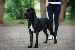 Handler with a dog Cane Corso Italian Mastiff Stock Photography