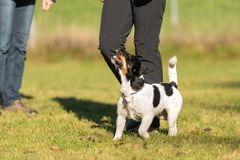 Handler with his dog. Sport with an obedient jack russell terrier stock photo
