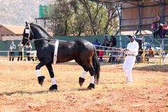 Handler letting lovely black Friesian horse gallop. Royalty Free Stock Photos