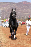 Handler letting lovely black Friesian horse gallop. Stock Photography