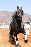 Handler letting lovely black Friesian horse gallop. Royalty Free Stock Photography