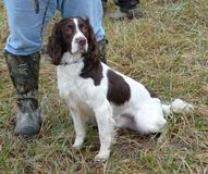 Handler & Spaniel. A Spaniel & Handler in The Field Stock Images