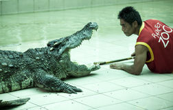 Handler in Thailand crocodile nursery. The trainer puts his head into the jaws of the crocodile, and remains alive. A series of st Stock Images