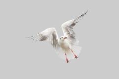 Handling för Seagullstoppflyg som isoleras på grå färger Arkivfoto