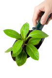 Handling Plant with Shovel Stock Photography