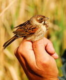 Female Reed Bunting in ornithologist hand Stock Images