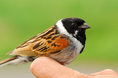 Male Reed Bunting in ornithologist hand stock photo