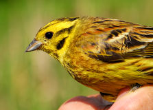 Yellowhammer in ornithologist hand Royalty Free Stock Photo