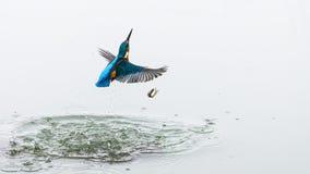 Handlingfotoet av en kungsfiskare som ut kommer från vatten efter ett lyckat fiske, men fisken, har stupat ut ur kingfisher'sna arkivbild