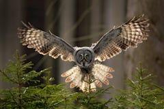 Handlingplats från skogen med ugglan Flyga stora Grey Owl, Strixnebulosa, ovanför grönt prydligt träd med orange mörk skogbaksida royaltyfri foto