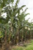 Handlowa Bananowa plantacja z Młodą owoc Obrazy Stock
