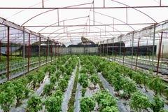 Handlowa rolnictwo basilu szklarni produkcja zdjęcie royalty free