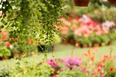 Handlowi kwiatów garnków zrozumienia w szklarni stokrotka hodowlany kwiat kwitnie szklarniane szklarni cieplarni rośliien róże Obraz Stock