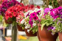 Handlowi kwiatów garnków zrozumienia w szklarni stokrotka hodowlany kwiat kwitnie szklarniane szklarni cieplarni rośliien róże Fotografia Royalty Free