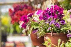 Handlowi kwiatów garnków zrozumienia w szklarni stokrotka hodowlany kwiat kwitnie szklarniane szklarni cieplarni rośliien róże Fotografia Stock