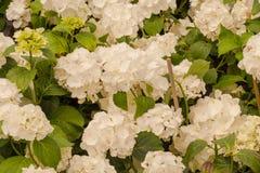 Handlowi kwiatów garnków zrozumienia w szklarni stokrotka hodowlany kwiat kwitnie szklarniane szklarni cieplarni rośliien róże Zdjęcie Royalty Free