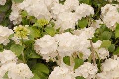 Handlowi kwiatów garnków zrozumienia w szklarni stokrotka hodowlany kwiat kwitnie szklarniane szklarni cieplarni rośliien róże Obrazy Royalty Free