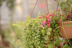 Handlowi kwiatów garnków zrozumienia w szklarni stokrotka hodowlany kwiat kwitnie szklarniane szklarni cieplarni rośliien róże Obraz Royalty Free