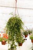 Handlowi kwiatów garnków zrozumienia w szklarni stokrotka hodowlany kwiat kwitnie szklarniane szklarni cieplarni rośliien róże Obrazy Stock
