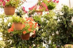 Handlowi kwiatów garnków zrozumienia w szklarni stokrotka hodowlany kwiat kwitnie szklarniane szklarni cieplarni rośliien róże Zdjęcia Stock