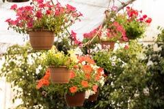 Handlowi kwiatów garnków zrozumienia w szklarni stokrotka hodowlany kwiat kwitnie szklarniane szklarni cieplarni rośliien róże Zdjęcie Stock