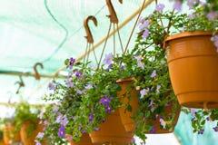 Handlowi kwiatów garnków zrozumienia w szklarni stokrotka hodowlany kwiat kwitnie szklarniane szklarni cieplarni rośliien róże Zdjęcia Royalty Free
