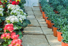 Handlowi kwiatów garnki w szklarni stokrotka hodowlany kwiat kwitnie szklarniane szklarni cieplarni rośliien róże Zdjęcia Stock