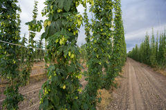 Handlowy chmielu gospodarstwo rolne w Oregon Obrazy Stock