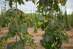 Handlowy chmielu gospodarstwo rolne w Oregon Obrazy Royalty Free
