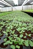 Handlowy rolnictwo brokułu liścień zdjęcie royalty free