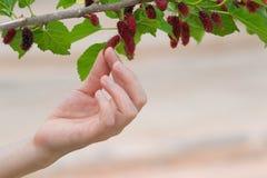 Handmädchen ausgewählte Maulbeeren lizenzfreie stockfotografie