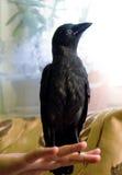 Handmade галка птицы, не испуганная людей Стоковое Изображение RF
