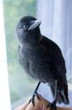 Handmade галка птицы, не испуганная людей Стоковое Фото