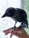 Handmade галка птицы, не испуганная людей Стоковые Фотографии RF