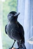 Handmade галка птицы, не испуганная людей Стоковые Изображения