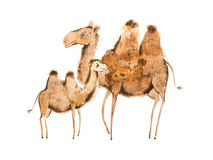Handmade illustration of camel mother and calf Royalty Free Stock Photos