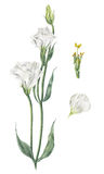 Handmade watercolor botanical illustration of white eustoma Stock Images
