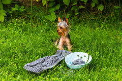 Handmade woolen scarf and yorkshire terrier Royalty Free Stock Images