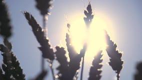 Handof średniorolna wzruszająca pszeniczna kukurudza przy żniwa rolnictwem zdjęcie wideo