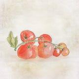 Handpainted tomatoes Stock Image